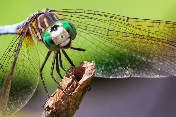 Happy Legless Dragonfly